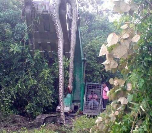 55 foot boa unearthed by a digger in Malaysia. The snake was one of a pair. The other escaped unharmed but the digger driver had a heart attack & died!