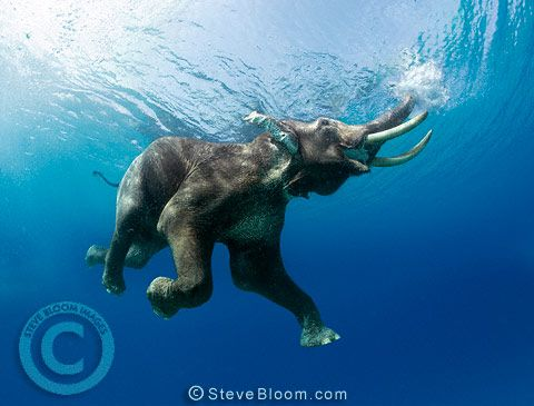 Indian elephant swimming underwater by Steve Bloom
