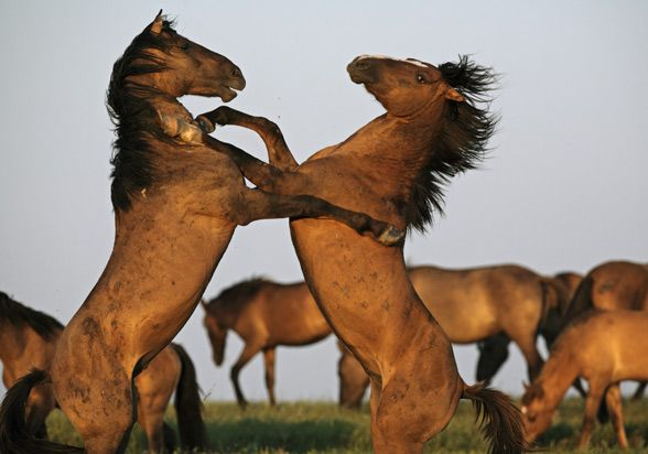 Letea Forest / Danube Delta horses. Roumanian Touristics - What to visit in Romania ?: THE DANUBE DELTA - WILD NATURE