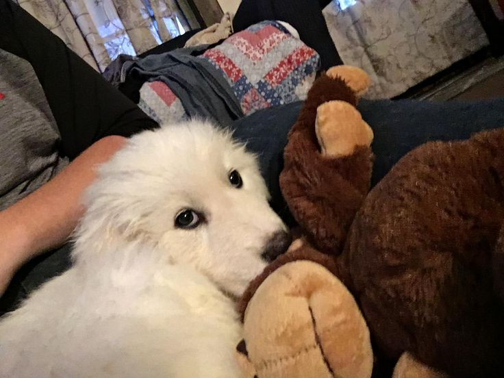 My Great Pyrenees puppy the first night we brought her home snuggling with her monkey. http://ift.tt/2wIer08