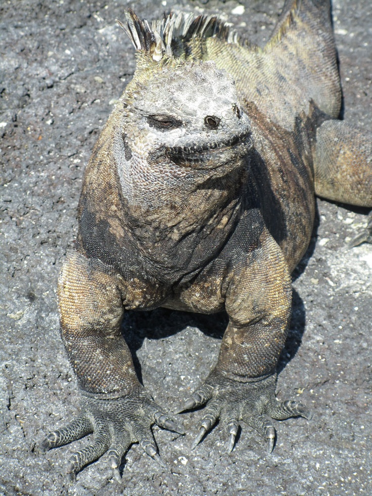 83 best Reptiles images on Pinterest | Galapagos islands, Iguanas ...