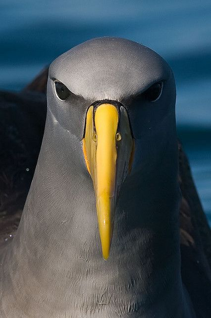 The Chatham Albatross (Thalassarche eremita), also known as the Chatham Mollymawk or Chatham Islands Mollymawk,[4] is a medium-sized black-and-white albatross which breeds only on The Pyramid, a large rock stack in the Chatham Islands, New Zealand.