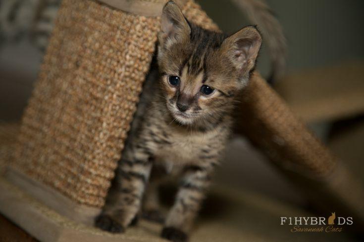 Marcelo - F2 Savannah Kitten (Available)