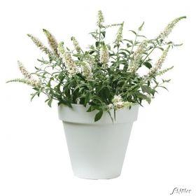Zwerg-Sommerflieder 'White Chip®' jetzt günstig in Ihrem MEIN SCHÖNER GARTEN - Gartencenter schnell und bequem online bestellen.