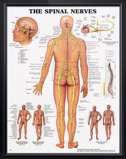 Spinal Nerves anatomy poster. shows spinal cord segments, cutaneous distribution of spinal nerves and dermal segmentation. Neurology for doctors and nurses.