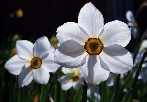 pheasant eye narcissus by masterofimages58, via Flickr: Eye Narcissus, Pheasant Eye, Photo