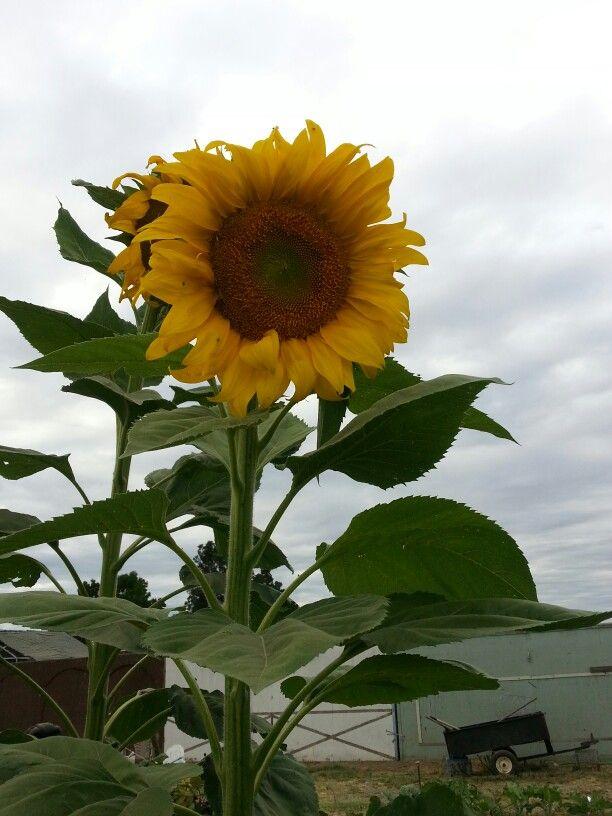 BOBS de lo m¨¢s destacado de las mujeres: Sun Flower Flat, Natural Sunflower, 10 M US
