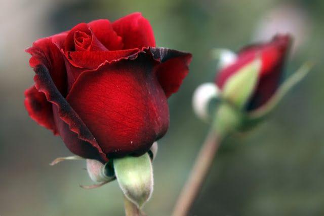 رد جوري احمر متحرك ورد جوري احمر وابيض ورد جوري احمر رومانسي مسكات ورد جوري احمر ورد جوري ا Rose Flower Pictures Rose Flower Wallpaper Lovely Flowers Wallpaper