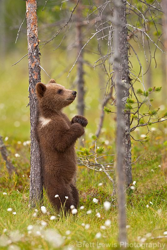 Daydream...: Real Life, Brother Bears, Bears Cubs, Brett Lewis, Feelings Good, Brown Bears, Baby Bears, Grizzly Bears, Animal