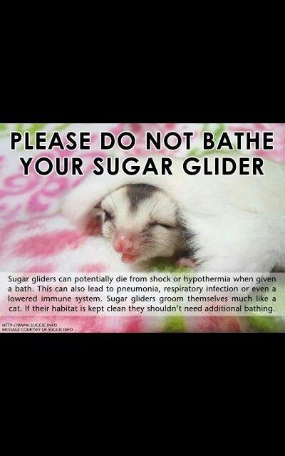 Don't bathe your sugar glider!