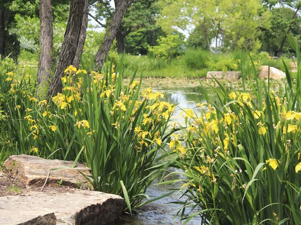 Yellow Flag Iris can handle prolonged immersion in water