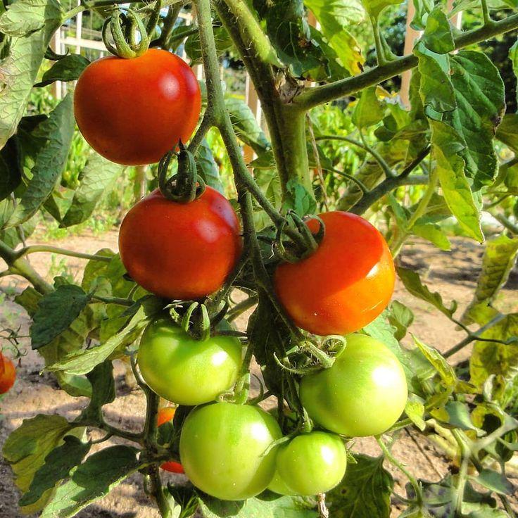 Haubners Vollendung Eine Klassische Sogennante Normalfrucht Rot Rund Etwa 80 120 Gramm Schwer Und Ein Sehr Guter Tomatiger Geschmack Haubners Vollendung Is