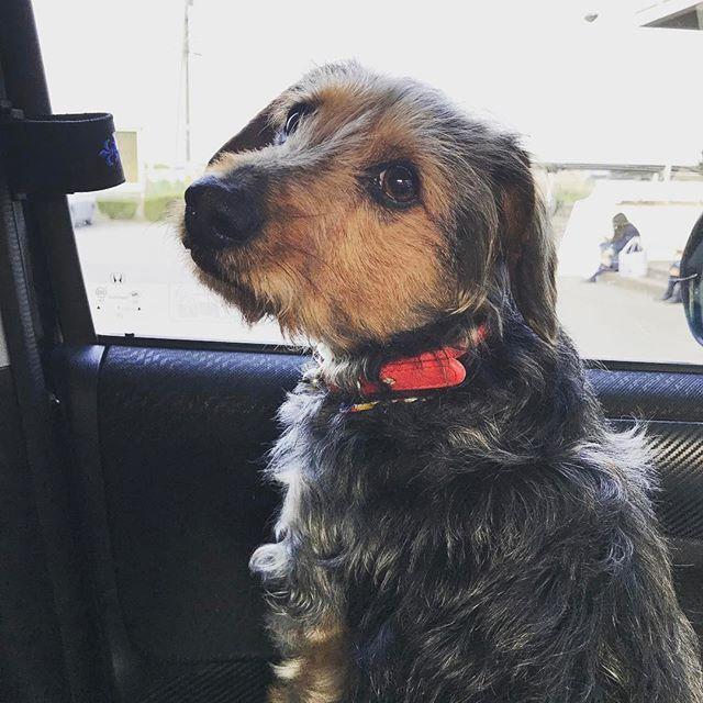 娘を迎えに学校へ行ってきましたー🐶 車で出かけるのも大好きなむさしです😊 #ミニチュアダックスフンド#ヨークシャテリア#ミックス#愛犬#可愛い#ラブ #miniaturedachshund#YorkshireTerrier#mix#dog#cute#love#Instagood#f4f #l4l