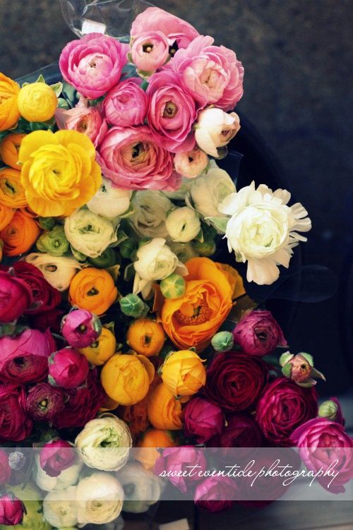 Ranunculus photograph, Flowers