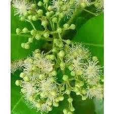 ∆ Allspice...essential oil ~ Uses:      Allspice oil can be helpful for the digestive system, for cramp, flatulence, indigestion and nausea.     It can help in cases of depression, nervous exhaustion, tension, neuralgia and stress.     A very small amount of Allspice oil can be used for as massage oil for a chest infection, severe muscle spasm or extreme cold.     In small doses in can also help for rheumatism, arthritis, stiffness, chills, congested coughs and bronchitis.