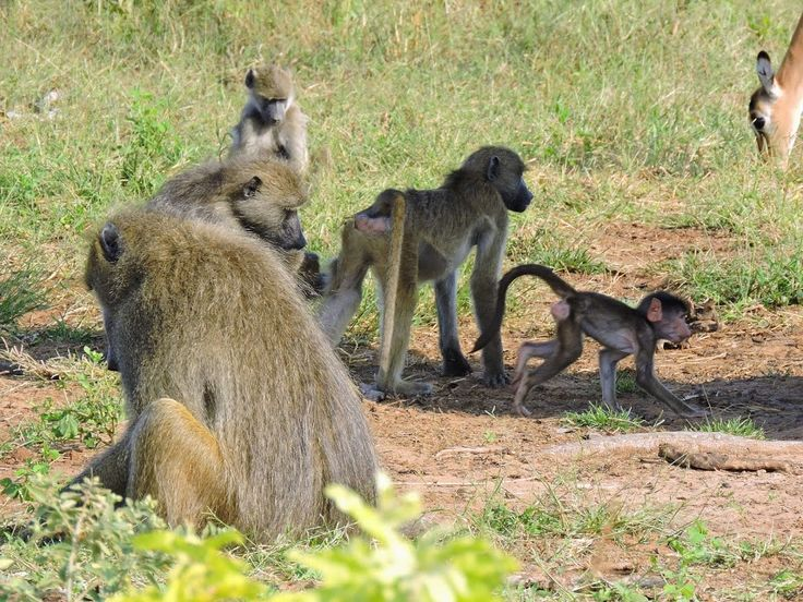 Baboons in the Chobe National Park, Botswana
