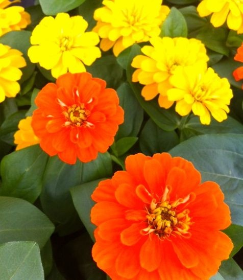Orange and Yellow Magellan Zinnias by Flower Factor, via Flickr