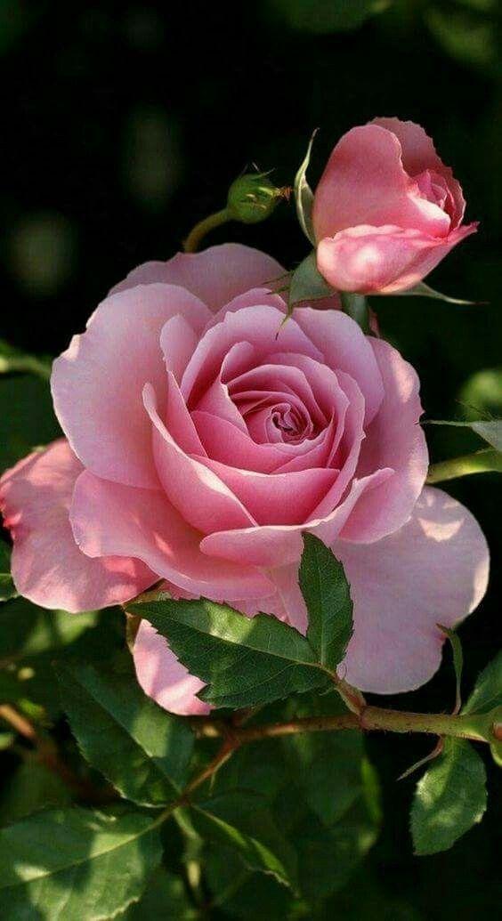 8914820e2 I love pink roses   Flowers   Flowers, Rose, Beautiful roses