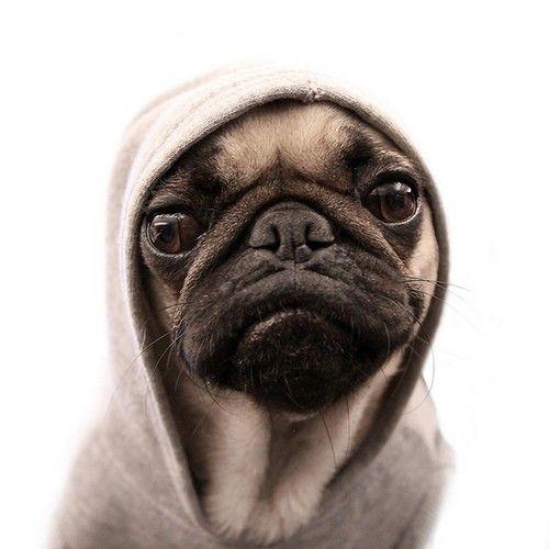 gangsta.: Animals, Dogs, Pug Life, Thug Pug, Thugpug, Pug Thug, Pet, Pugs