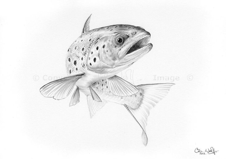 Trout Sketch <b>trout</b>, brown <b>trout</b> and image search on pinterest