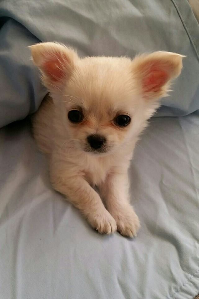 I'm not a chihuahua person but this one is so cute