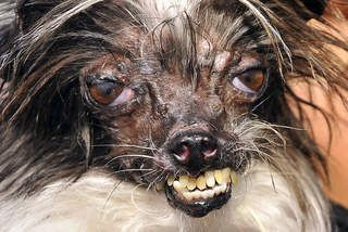 World's Ugliest Dog Competition Just for a change - not cute