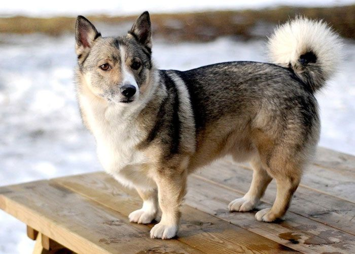 Meet The Corgsky Corgi Husky Mix Corgi Husky Mix Corgi Mix