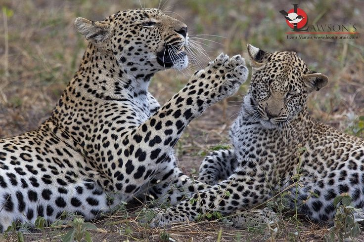 Dishing out discipline! Another great sighting in the Sabi Sand Game Reserve.