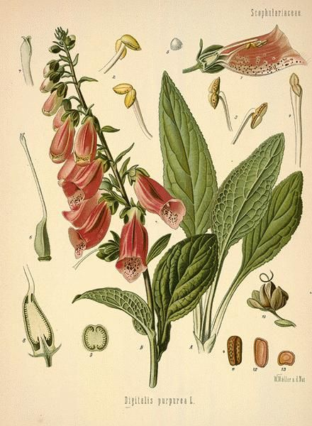Witches Banes P15  It is also called Witches' Gloves and Witches' Thimbles. Magically, foxglove can be used for faery spells, deflecting negative magic and protection. This plant is ruled by Venus and is associated with the element of water.