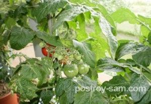 Выращивание помидоров в квартире