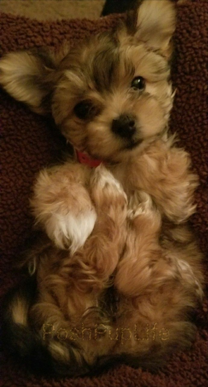 IG PoshPupLife Yorkshire terrier mix babe #puppy #dog #cute #yorkie