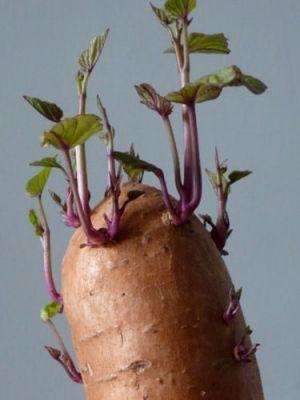 Édesburgonya (<span>Ipomoea batatas</span>)