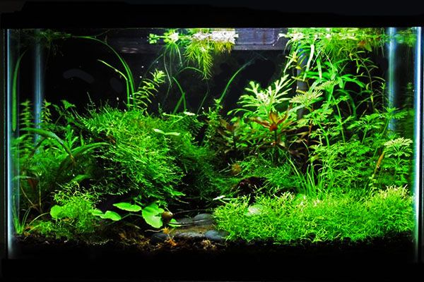 Starting a planted aquarium tank and garden something for Plante aquarium