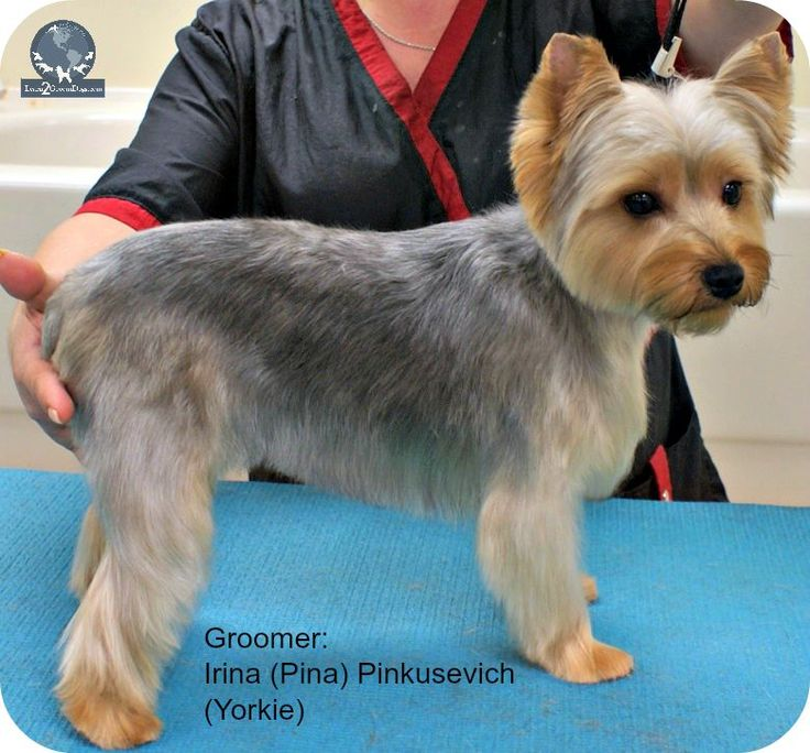 Don't you love it when an owner walks into a salon and ask for this trim by name? They actually think this is a universal standard trim that all groomers and pet stylists should know how to do. Whe...