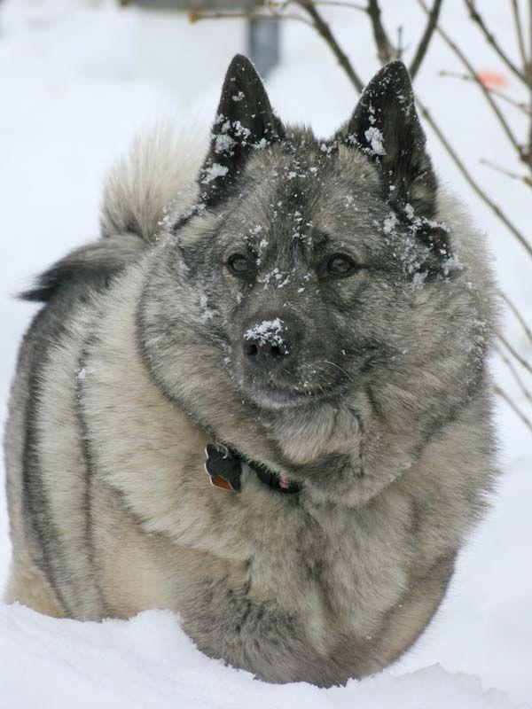 В 1901 году порода Норвежский Элкхаунд была зарегистрирована и получила должное признание. С этого момента началось официальное разведение этих собак. Хотя на протяжении веков, задолго до начала ХХ века, лосиная лайка была национальной собакой Норвегии