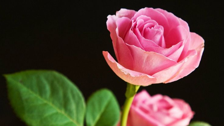 Rose HD Wallpapers  Backgrounds  Wallpaper  1280×800 Rose Images Hd Wallpapers (53 Wallpapers) | Adorable Wallpapers