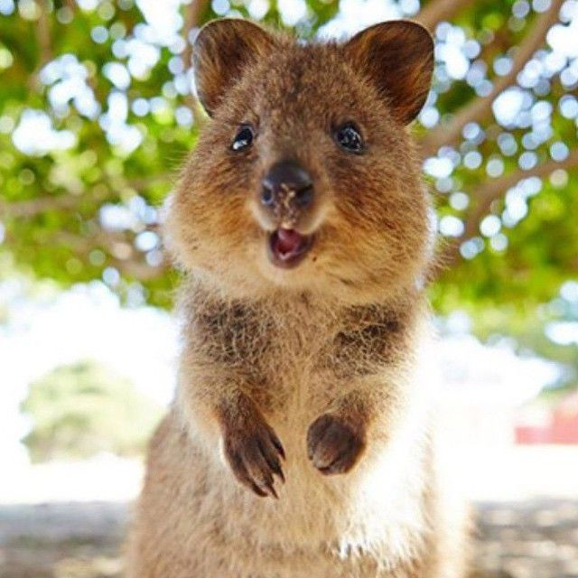 Baby quokka smiling - photo#11