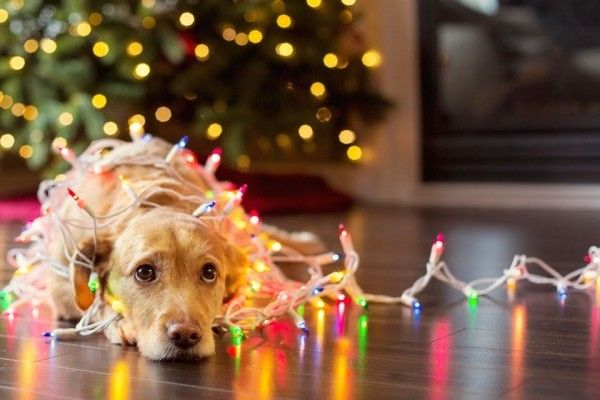 7 Pet-Friendly Holiday Decorating Tips | WOOFipedia by The American Kennel Club