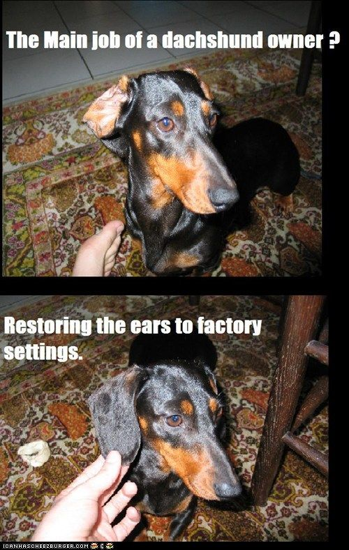 So very true!: Dachshund Owners, Funny, Ears, So True, Factories Sets, Puppy, Weiner Dogs, Maine Job, True Stories
