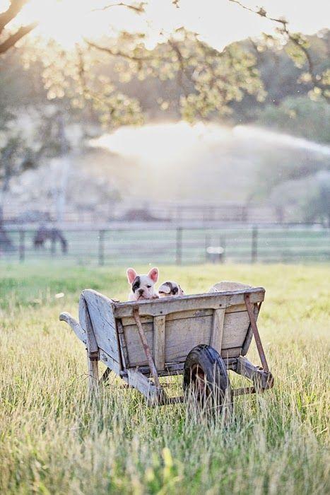 Dreamy Whites - Dogs in wheelbarrow