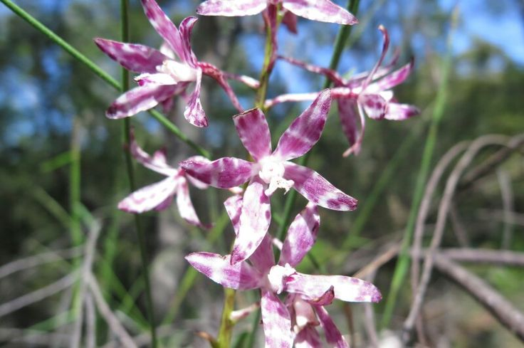 Variegated hyacinth orchid spotted on McCarrs Creek Rd Ku-ring-gai Chase NP