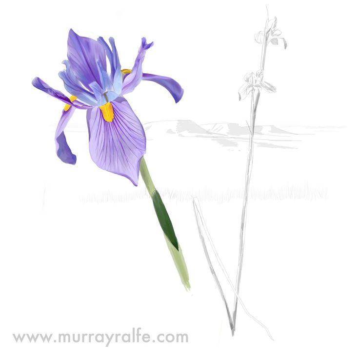 Karoo Iris (Moraea polystachya) By Murray Ralfe  www.murrayralfe.com