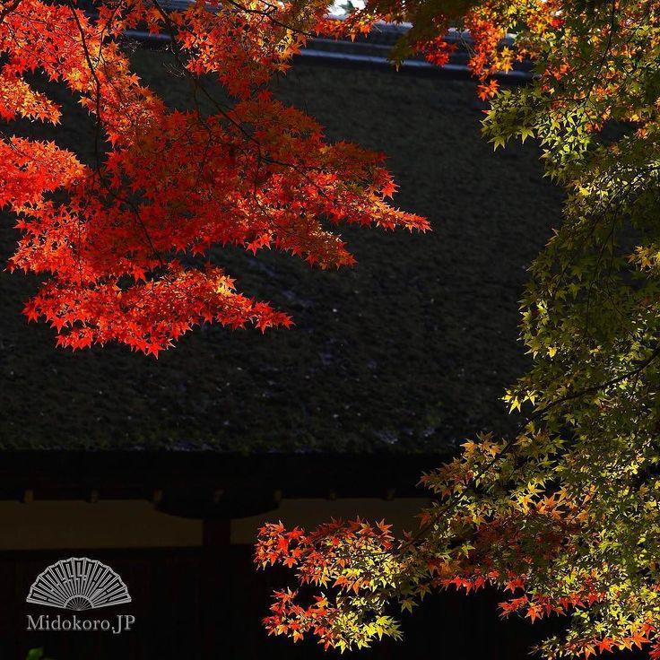 """Эти дни кленового разноцветья - один из самых ярких моментов года. Самое время для кленовой охоты """"момидзи-гари"""". Сегодняшняя идеальная ветка #momiji #момидзи #клён #клен #клёны #осень #осеннее #листопад #Япония #Киото #мидокоро #сегодня"""