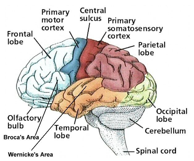5: Cortical areas of human brain. | Download Scientific Diagram