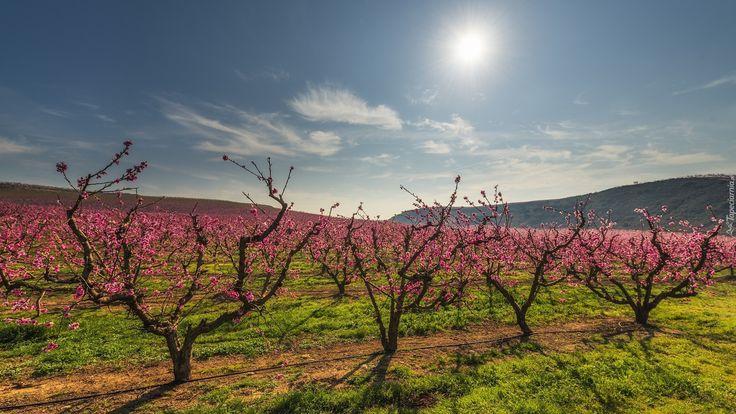 Wiosna, Sad, Drzewa owocowe