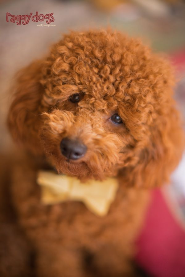 Piccolo Poodle S Sweet Little Face Always Makes Me Smile Cave In