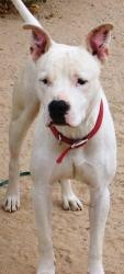 CHANCE is an #adoptable Boxer Dog in #Chandler #ARIZONA with Underdog Rescue of Arizona