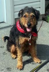 PA-Amelia Airedoodle: Poodle, Dog; Montclair, NJ