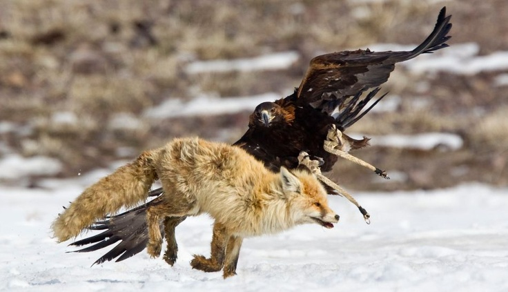 Kashastán: águila cazando un zorro.