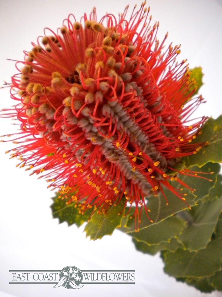 BANKSIA COCCINEA - available May-Nov. Unique, amazing, red with purple centre, like a space-age bloom. So unusual & dramatic! Longlasting Australian native flower, perfect in a bouquet, arrangement, or solo.